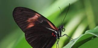 Key Gene That Influences The Pattern Of Butterfly Wings