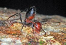 "Gallant ""Exploding Ant"" Offers Itself Up to Save its Colony"