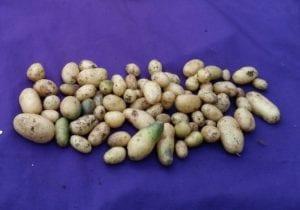 Complex Potato Genome Unveiled