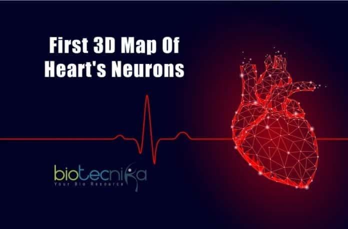 First 3D map of heart's neurons