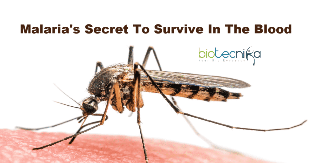 Malaria's secret to survive in blood