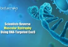 RCas9 to treat Muscular dystrophy
